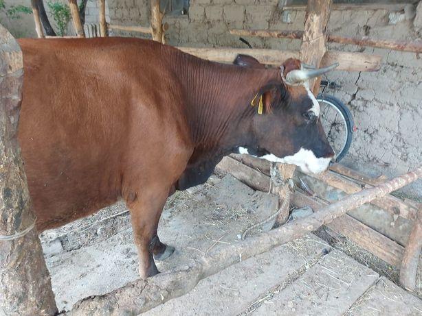 Продаётся корова с теленком