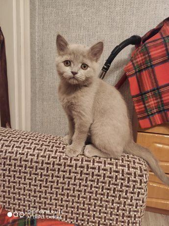 Продам котенока порода британец