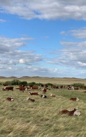 Продам КРС корова с телёнком