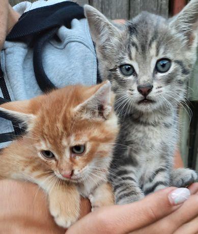 Pisoi  / pisici pt adopție