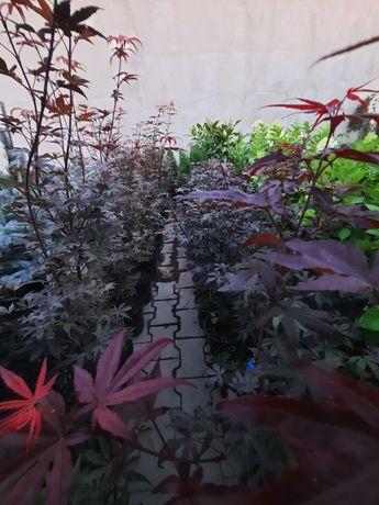 Artari japonezi rosi la ghiveci 80-110 cm