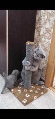 Вязка кота Шотландец