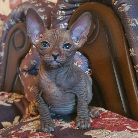 Милые котята Донского сфинкса