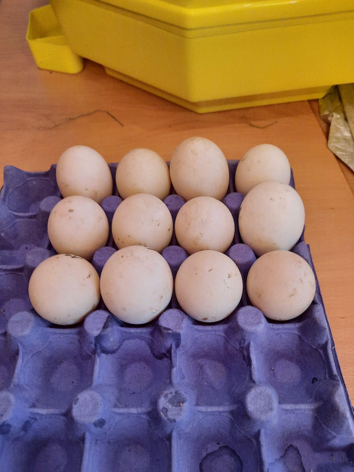 Oua de rata pentru eclozionare