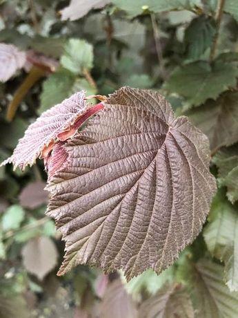 Саженцы лесного ореха
