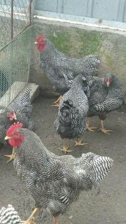 Яйцо инкубационное и цыплята породы плимутрок