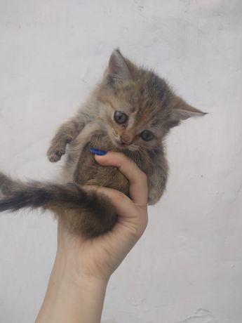 Отдам 2х котят и кошку