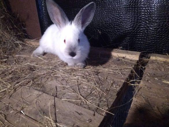 зайци за разплод и месо