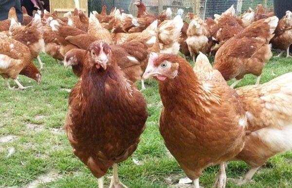 Куры несушки,несушки,куры,курицы,тауық