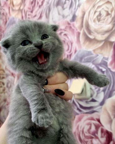 Шотландские котята фолд,страйт