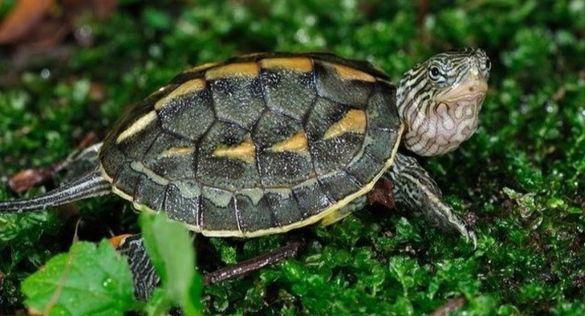 Китайска златнораирана костенурка