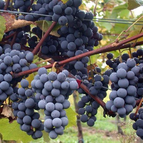 Vând struguri de casa nova pt vin