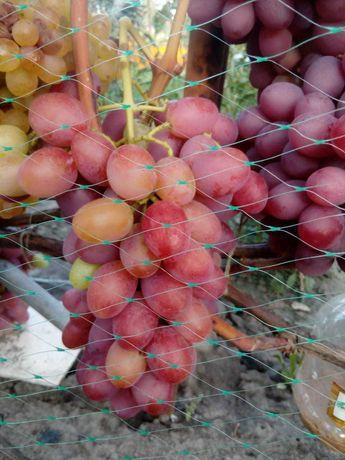 Продаются саженцы винограда 27 сортов, винные и столовые.