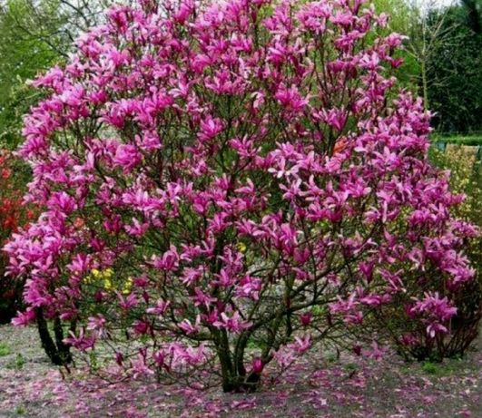 Magnolia Susan puiet 120 cm inaltime an 4