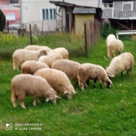Vind oi și miei.