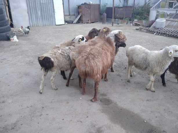 Бараны овцы продам