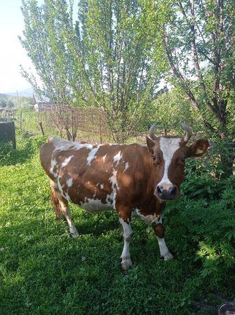 Продается корова , стельная