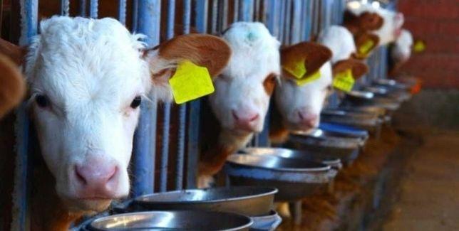 Продам скот Скатина КРС акбас бузау теленок телка Нетели коровы быки