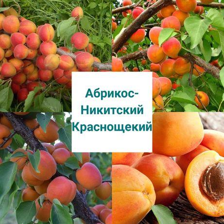 "Саженцы Абрикос ""Никитский Краснощекий"""