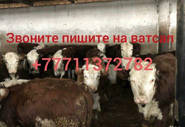 Телята бычки коровы бузау КРС Ангус сементал герефорт белоголовые голш