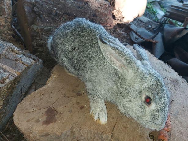 Vand iepuri de casa