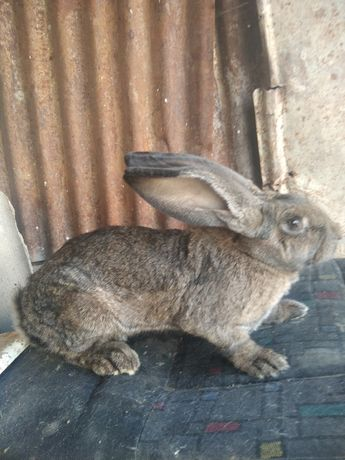 Продам кролика великана
