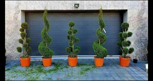 Tuia gazon amenajări  grădini