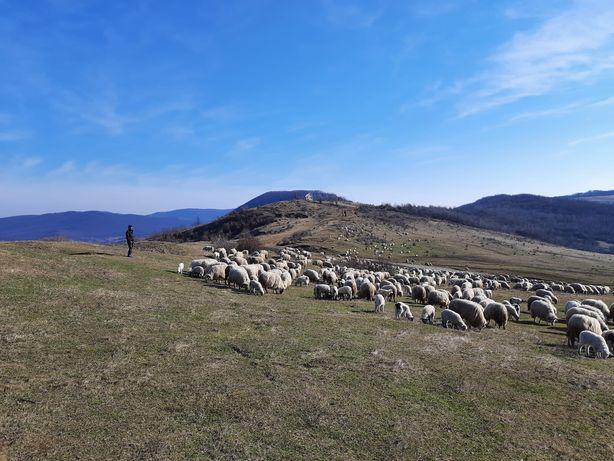De vanzare 50 de oi reforme