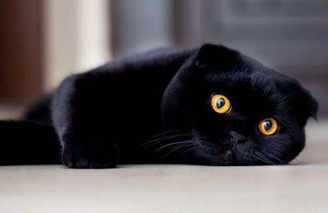 Кот черный шотландский вислоухий