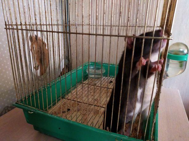 Продам двух крыс и две клетки 5000тг
