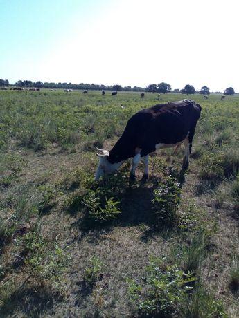 Сиыр бұзауымен / корова с теленком