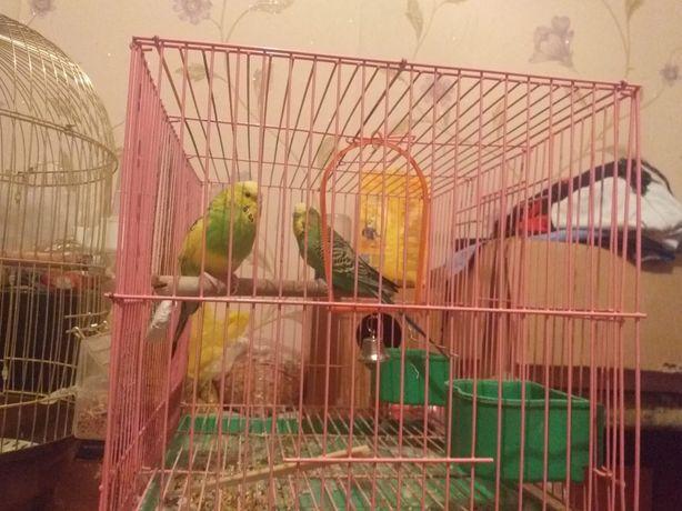 Продаётся волнистые попугай