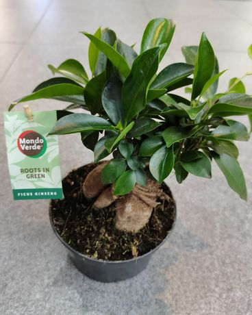 Комнатное растение - лучший подарок ко Дню учителя и не только