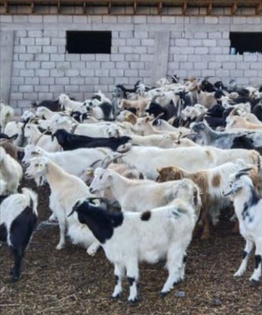 Ешкі коза сатам продам 37штук