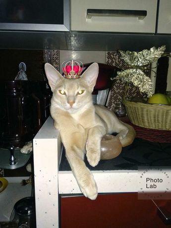 Абиссинский кот приглашает к знакомству