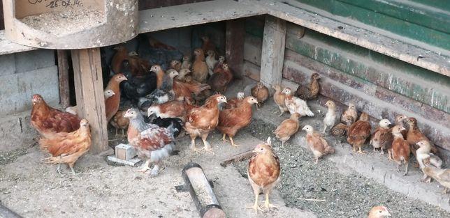 Цыплята несушки разные