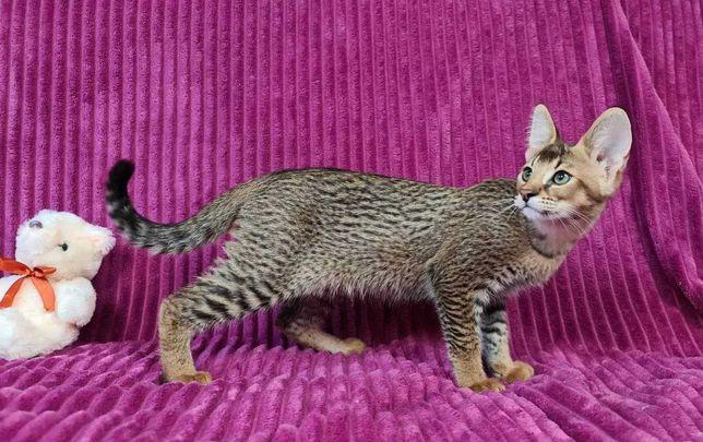 Продам котенка Саванна F1 девочка