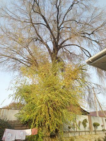 Дерево Карагаш,на спил