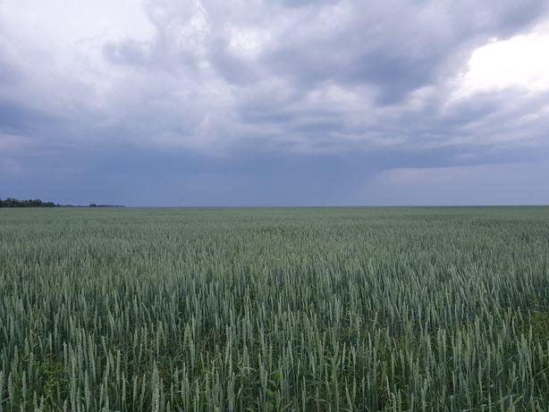 Семена льна, пшеницы