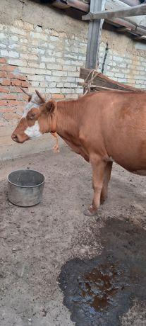 Продам коровушку