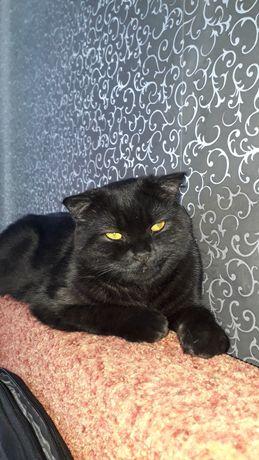Шотландский,веслоухий кот