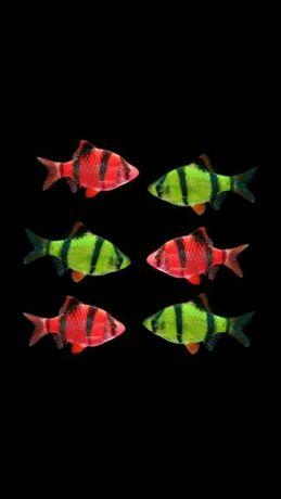 Барбусы гло зеленые и красные