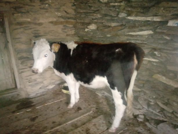 Продам коров возраст 2,3-5,5лет