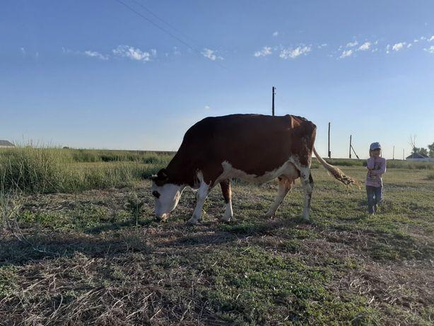 Продам дойных крупных коров