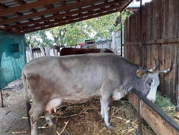 Vaca de  vanzare