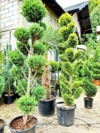 Bonsai, brad argintiiu, tuia, pon pon, palmier, spiralata, glob copaci