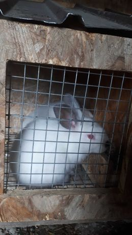 Продам крольчат породы Калифорния 1мес.