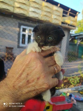 Котята вислоухие в хорошие руки
