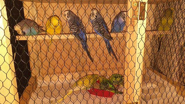 Papagali perusi+colivie