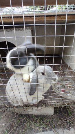 Продам кроликов декоративные